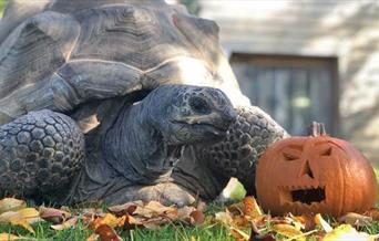 A tortoise and a pumpkin