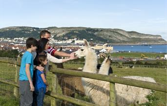 Family stroking llamas, Bodafon Farm