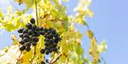 Close up photo of black grapes growing on the vine