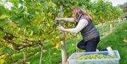 Lady harvesting green grapes from the vines
