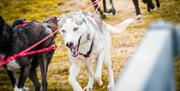 Image of husky dog running pulling sleigh