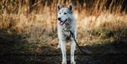 Image of Husky dog