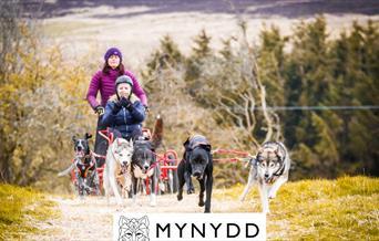 Cŵn a throl Mynydd Sleddog