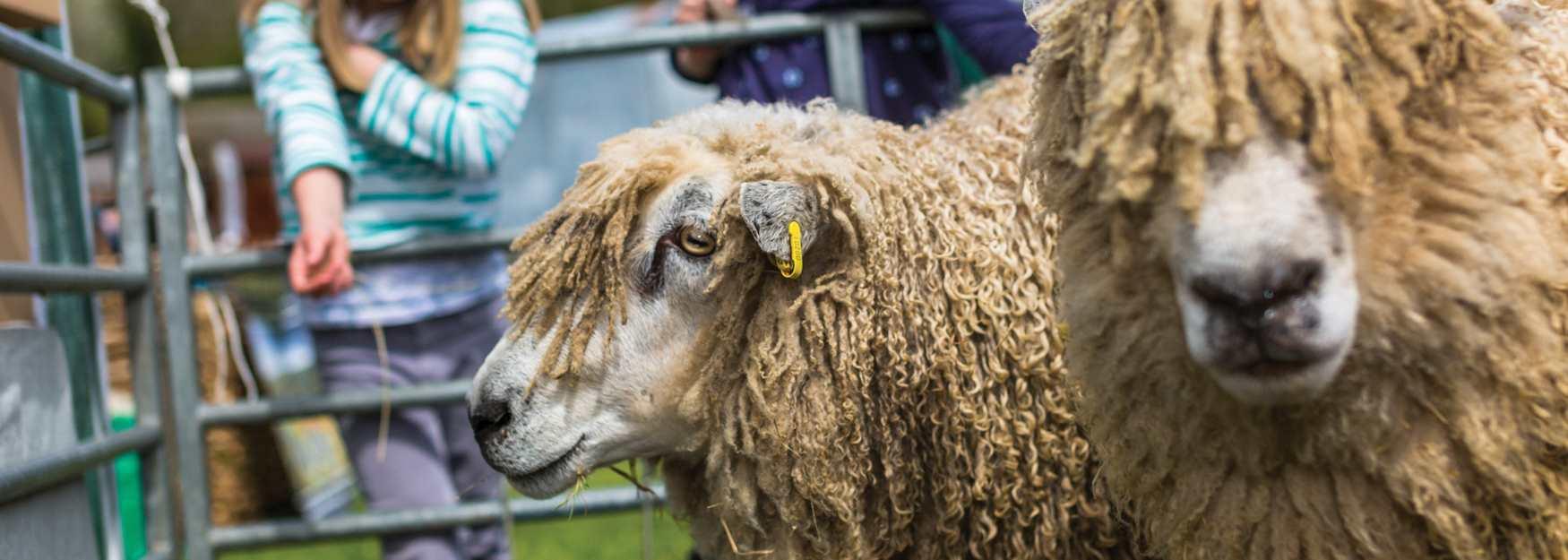 Sheep at Farm Park