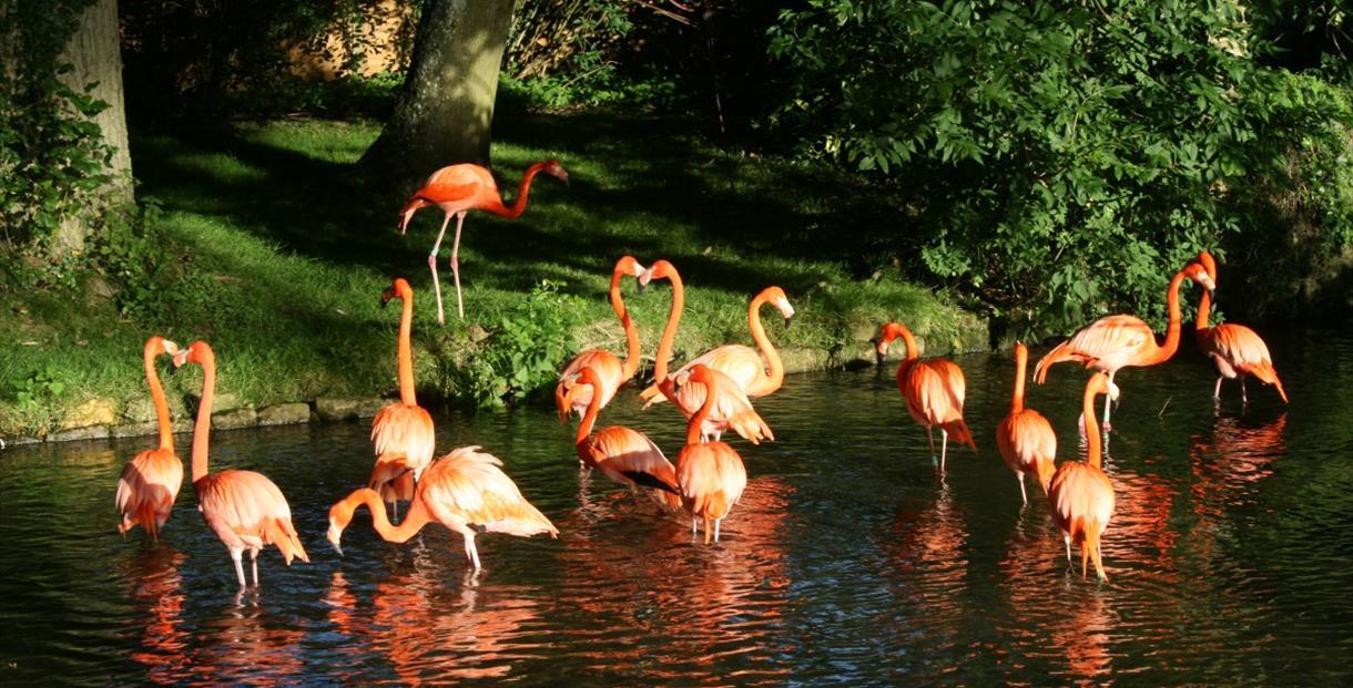 Flamingos at Birdland Park and Gardens