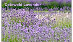 Snowshill Lavender, Snowshill