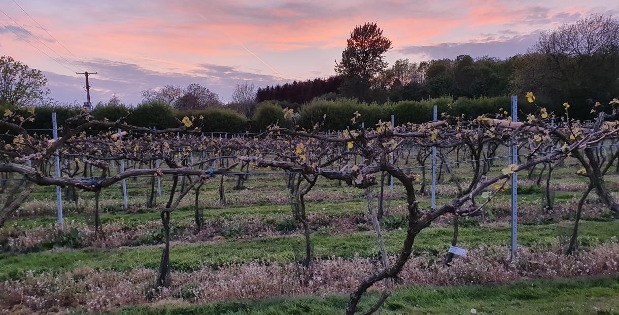 Little Oak Vineyard Chipping Campden