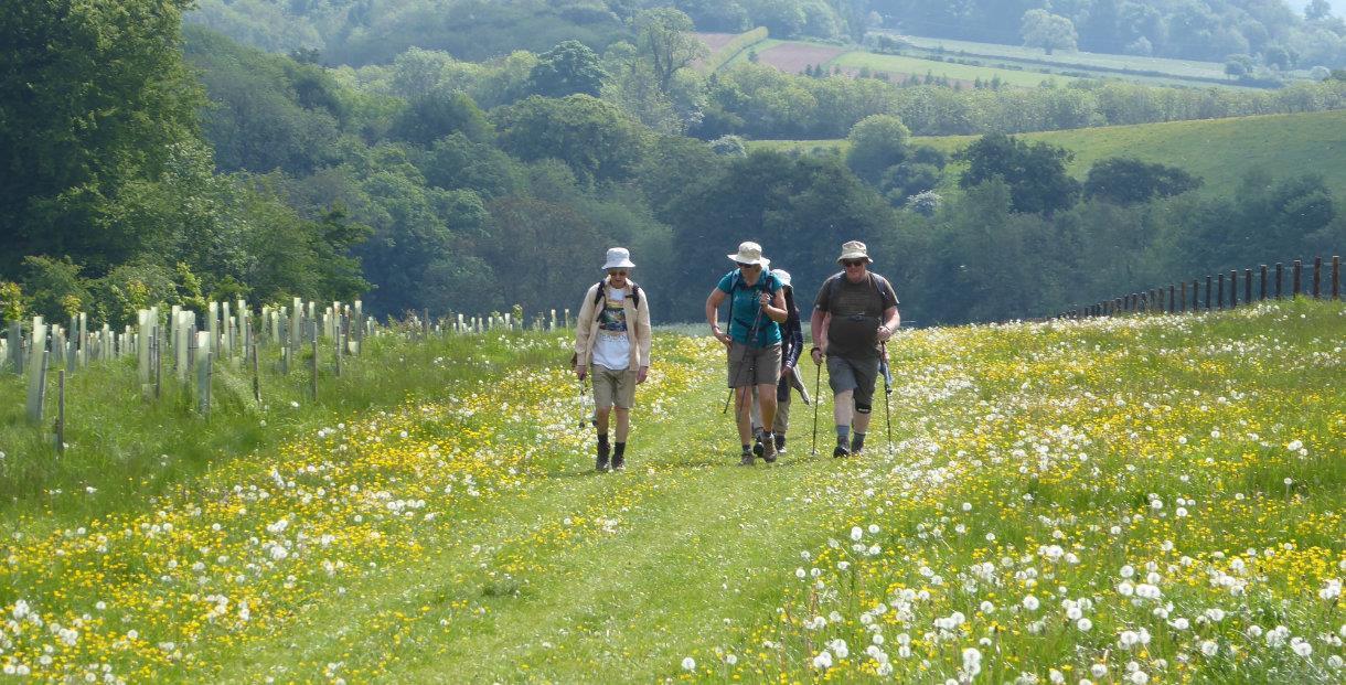 walkers passing through dandelions