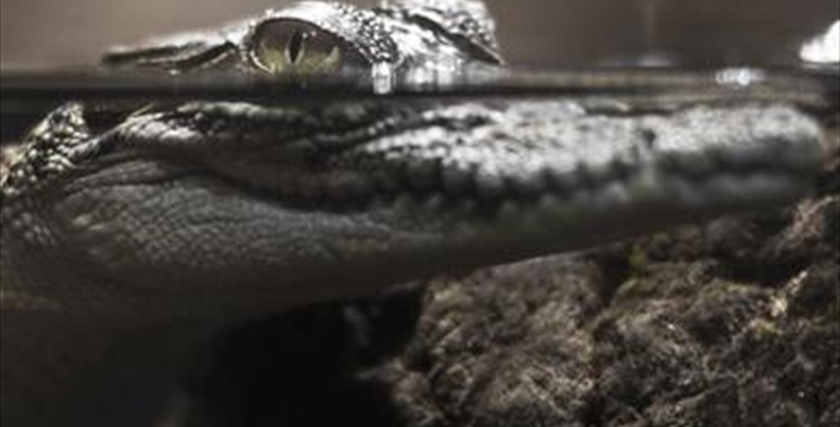 Crocodiles of the World Witney
