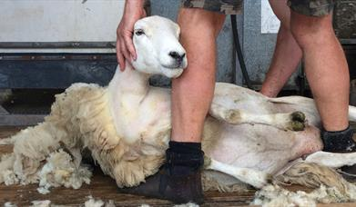 LEARN HOW TO SHEAR SHEEP at Humble by Nature