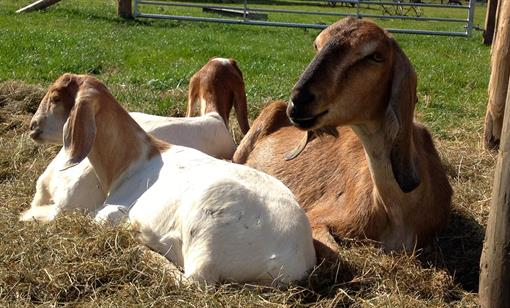 GOATS FOR BEGINNERS at Humble by Nature