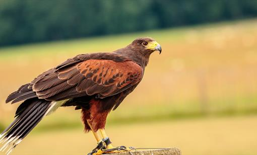 A country walk with a Harris hawk at International Centre for Birds of Prey