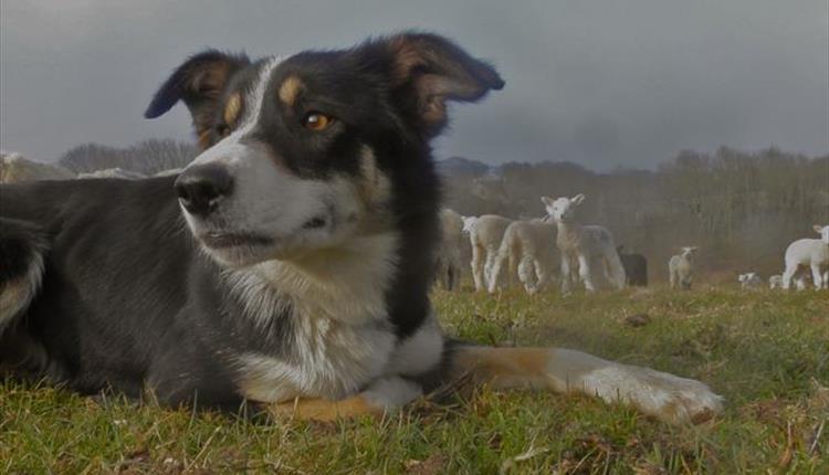 Sheepdog & Falconry Display