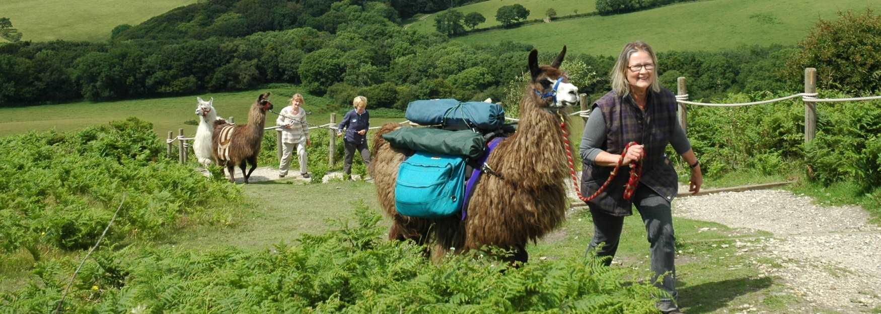 Trek through the beautiful West Dorset countryside with a Llama