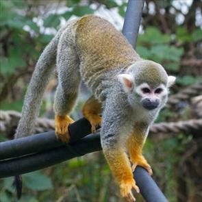 A squirrel monkey at Monkey World Ape Rescue Centre, Dorset