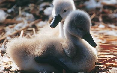 Cygnets at Abbotsbury Swannery hatch mid-May to end-June