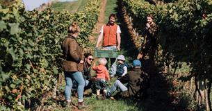Rob Corbett, harvesting Bacchus grapes at Castlewood Vineyards