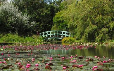 The 'Monet' style Japanese bridge sitting over the Uk's largest National Plant Collection of waterlillies.