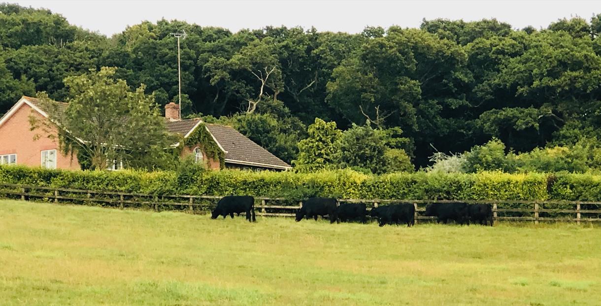 main house dexter cattle in field