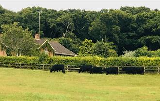 main house dexter cattle in field