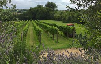 Little Waddon Vineyard, Dorset