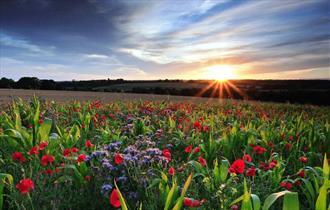 Poppies on Cranborne Chase