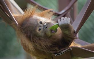 Monkey World, Dorset - Orangutan families