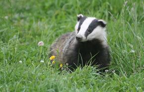 Badger Watch Dorset