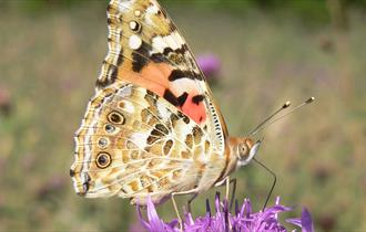 Painted lady butterfly at New Meadows Nature Reserve
