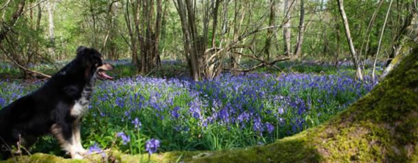 A dog with bluebells in Durham