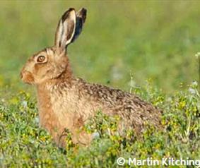 Easington Hare