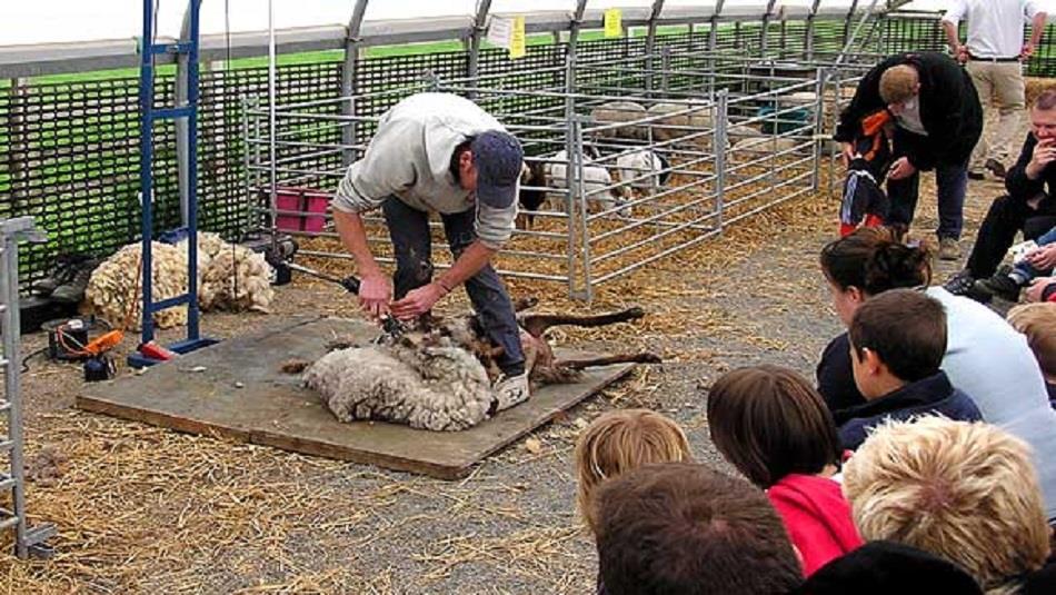 Sheep Shearing Demonstration at Hall Hill Farm