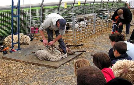 Sheep Shearing Demonstration at Hall Hill Farm