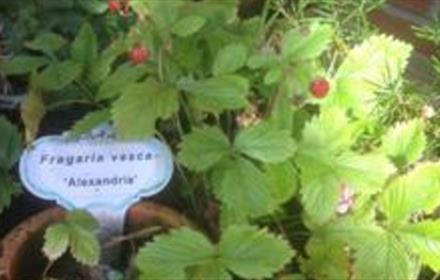 Polemonium Plantery