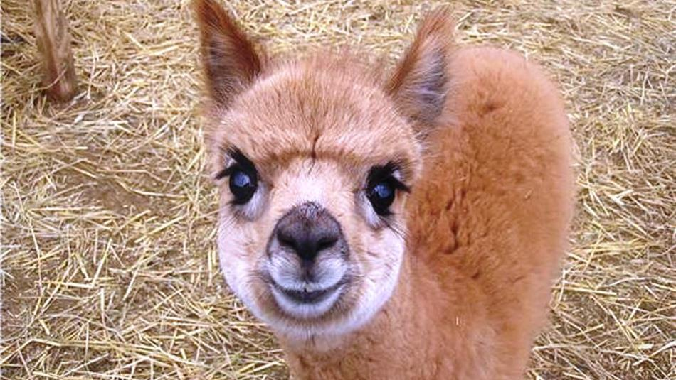 Cuddle the Alpacas at Hall Hill Farm
