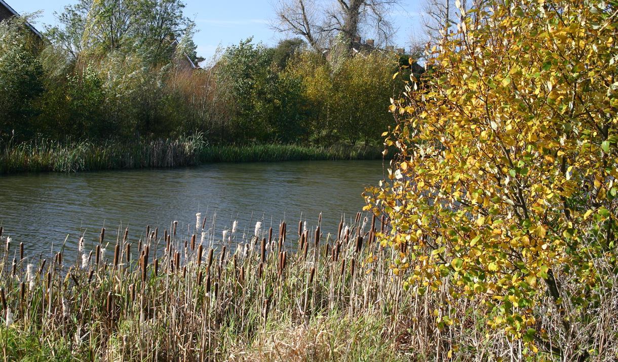 Shinewater Park reeds Hydneye