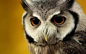 Close up of an owls face with a bright yellow background