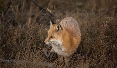 Fox in long grass