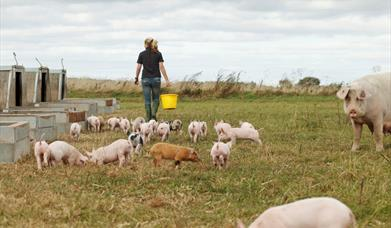 The field of pigs and piglets on Anna's Happy Trotters, in East Yorkshire