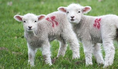 Two small lambs looking towards the camera in East Yorkshire.