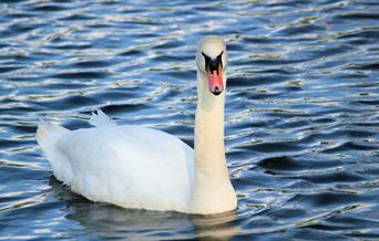 A mute swan gliding in the water, in East Yorkshire