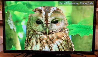A Tawny Owl natural treasure on a tv screen at Robert Fuller Gallery, in East Yorkshire