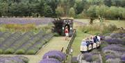 The children riding on the miniature railway through fields of lavender at Wolds Way Lavender in East Yorkshire.