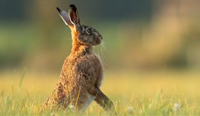 A brown hare sitting proudly in a field, East Yorkshire