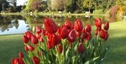 Lovely Red Tulips in front of the pond at Burnby Hall & Gardens in East Yorkshire.