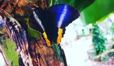 A butterfly in the Butterfly House at Bugtopia, Hornsea, East Yorkshire