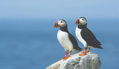 Puffins at Flamborough, East Yorkshire Photo copyright Ray Hennessy