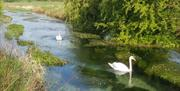 A stream with two swans located near Yorkshire Wolds Cookery School, Driffield, East Yorkshire.