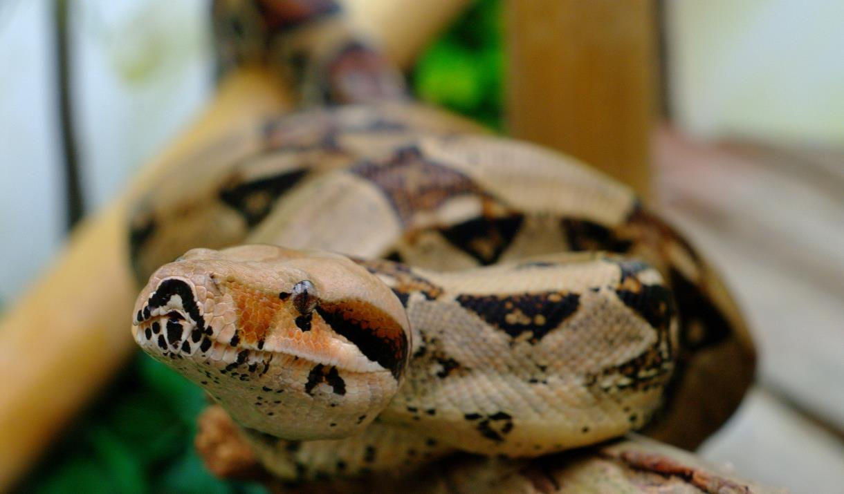 A snake at Bugtopia, Hornsea in East Yorkshire.