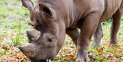 Black rhino, Paignton Zoo Environmental Park, Paignton, Devon